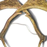 Clapper of fallow deer horns